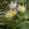 Photo: Tulipa Baker 'Lilac Wonder'