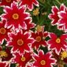 Photo: Coréopsis 'Ruby Frost'