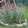 Photo: Coquelourde des jardins rouge carminé