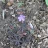 Photo: Geraniums des Prés 'Black Beauty'